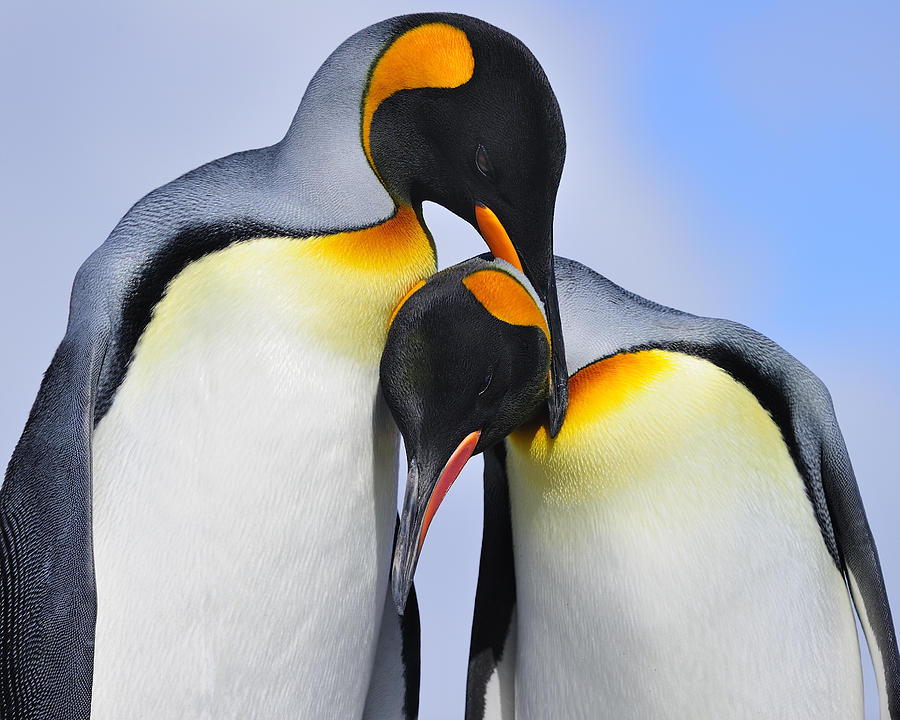 King Penguin Photograph - Love by Tony Beck