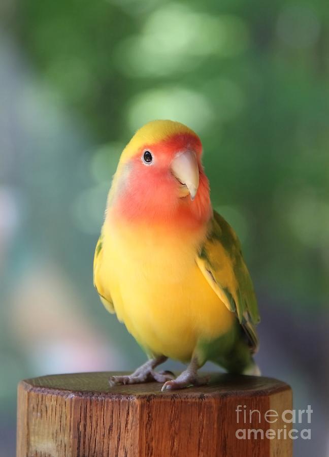 Love Bird Photograph - Lovebird On A Pedestal by Andrea Lazar