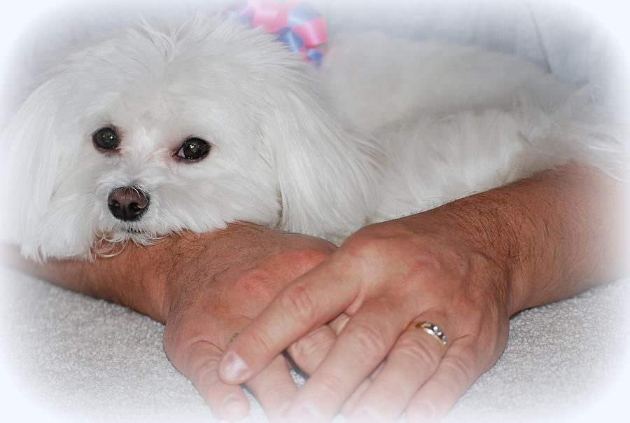 Maltese Photograph - Loved by Mary Beth Landis