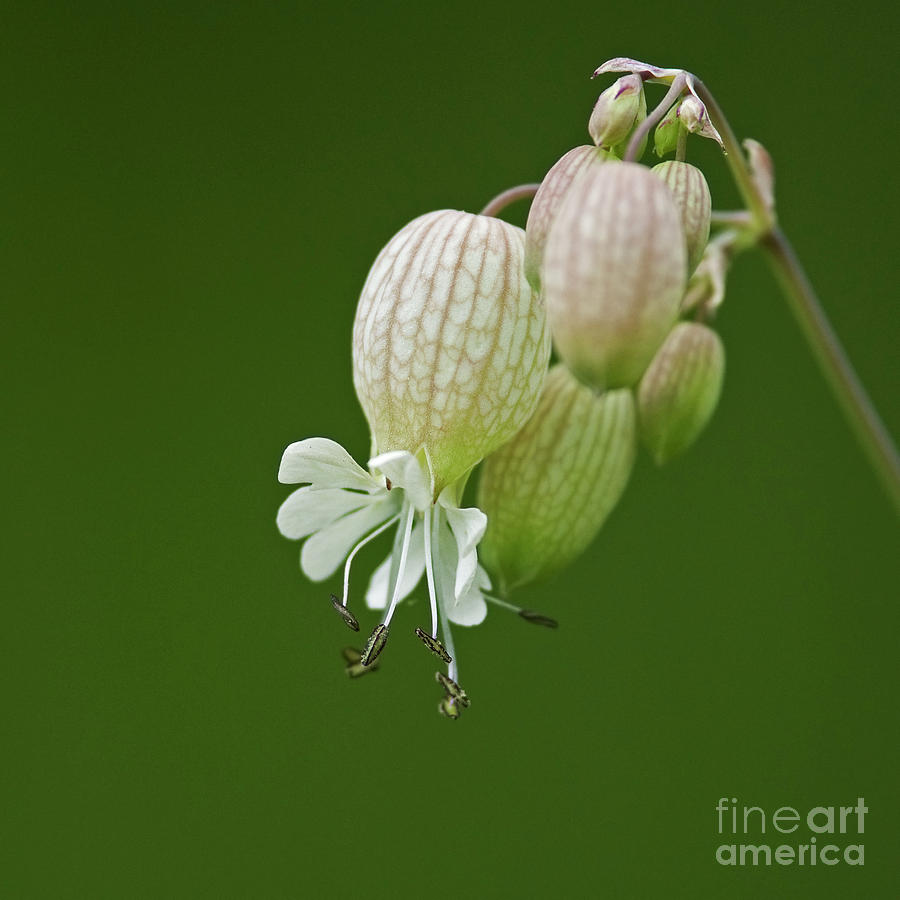 Silene-vulgaris Photograph - Lovely Bubbles... by Nina Stavlund