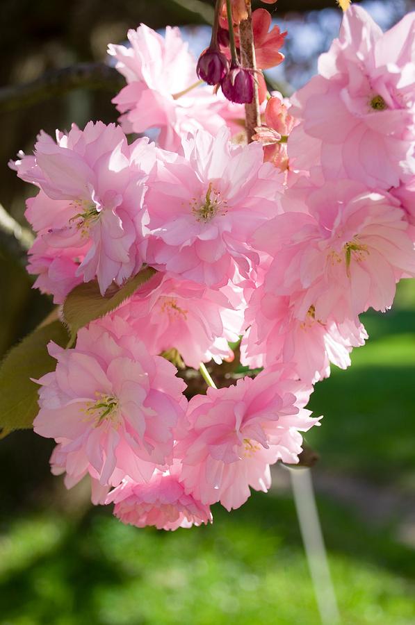 Cherry Photograph - Lovely Cherry Blossom by Iryna Soltyska
