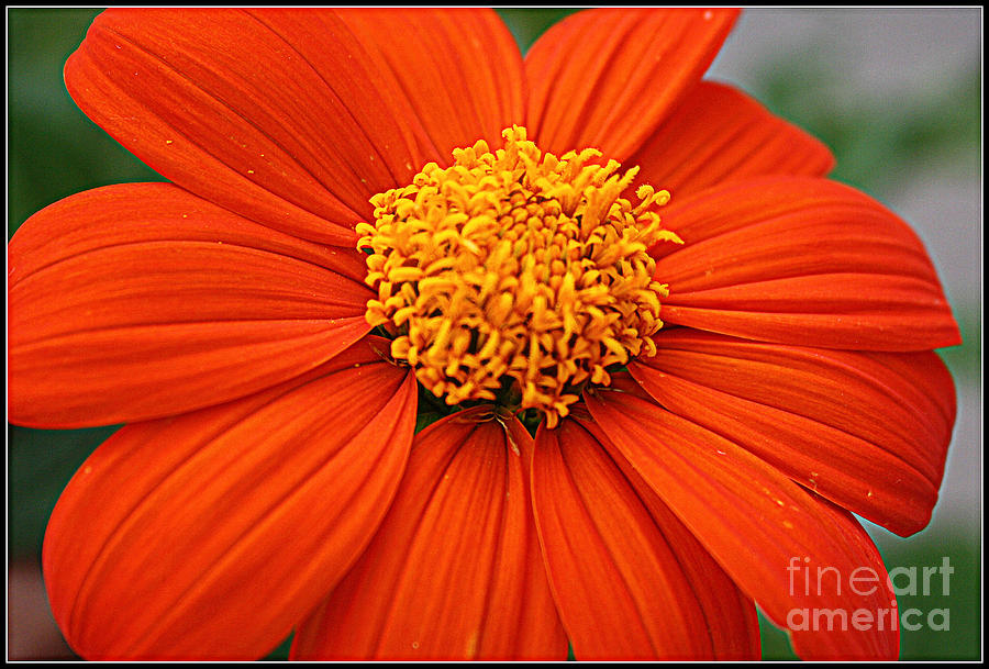Florals Photograph - Lovely In Orange - Mexican Daisy by Dora Sofia Caputo Photographic Design and Fine Art