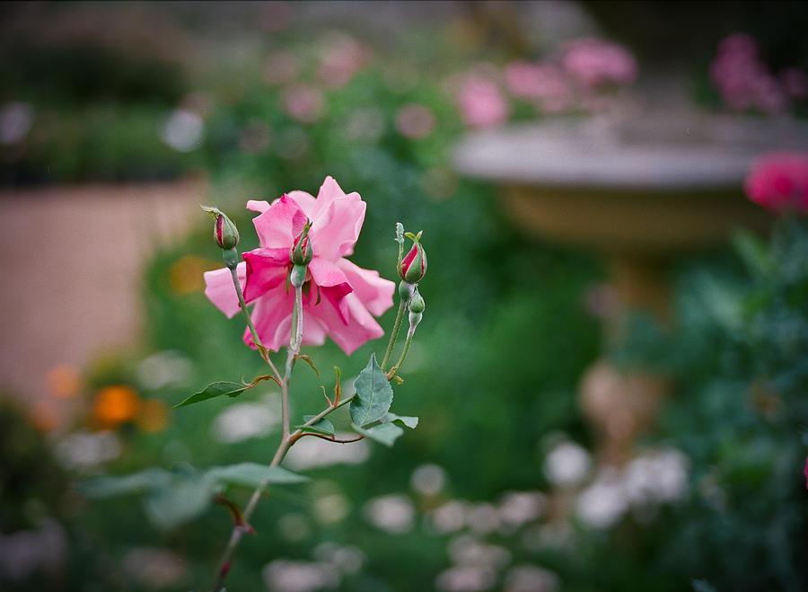 Flowers Digital Art - Lovely In Pink by Linda Unger
