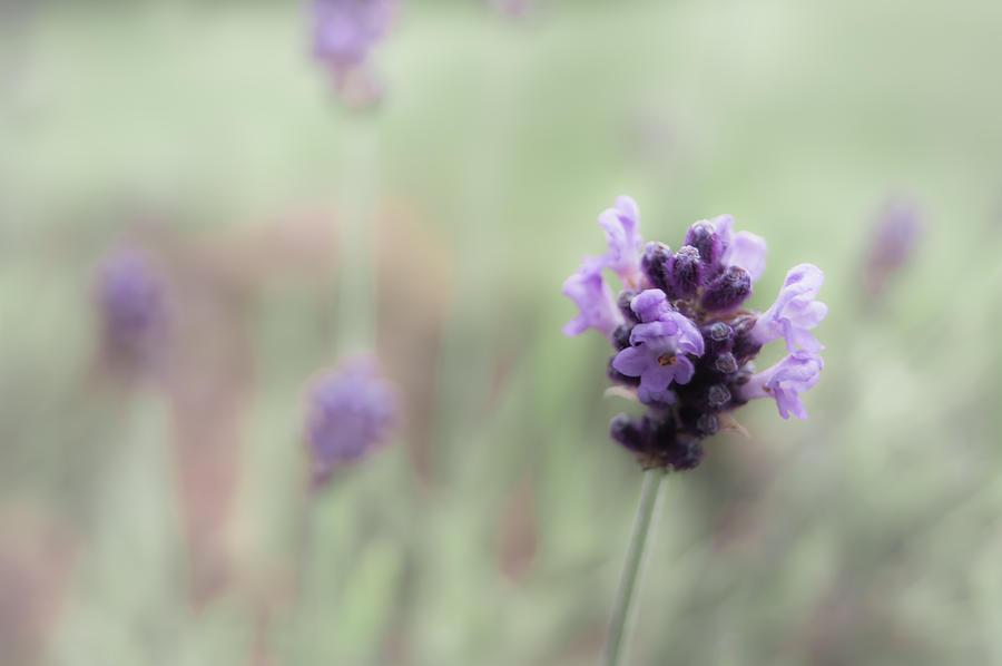 Lovely Lavender by Jen Baptist