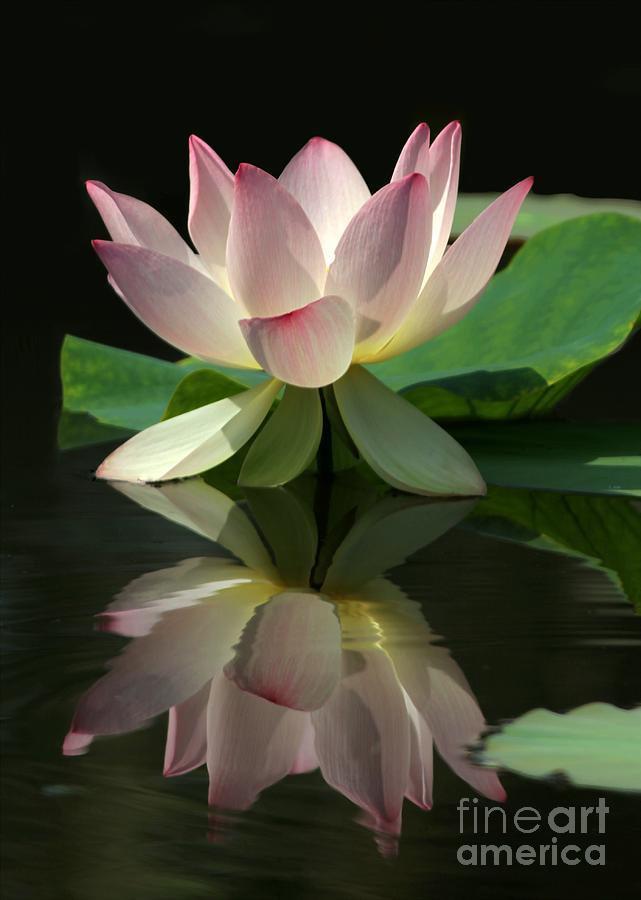 Lotus Photograph - Lovely Lotus Reflection by Sabrina L Ryan