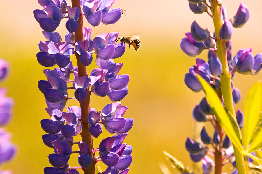 Lupins Photograph - Lovely Lupins And Busy Bee by Peggy Collins
