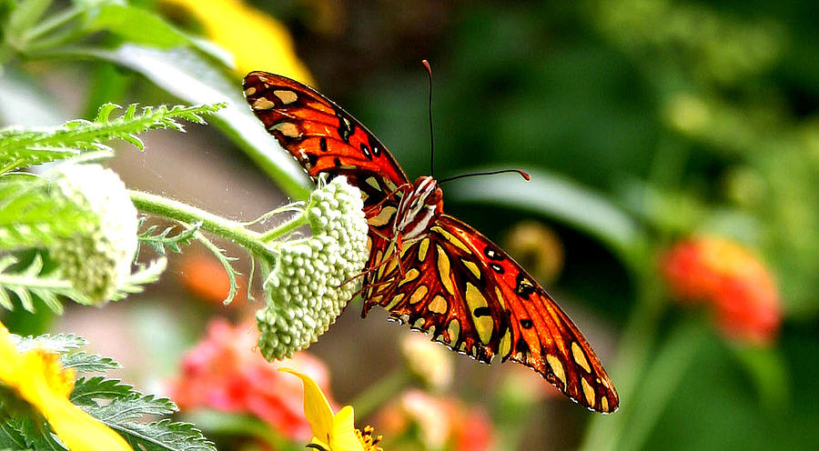 Butterfly Photograph - Lovely by Mac Kenney