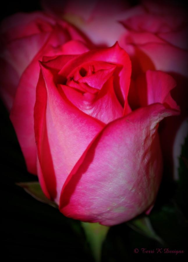 Pink Photograph - Lovely Rose by Terri K Designs