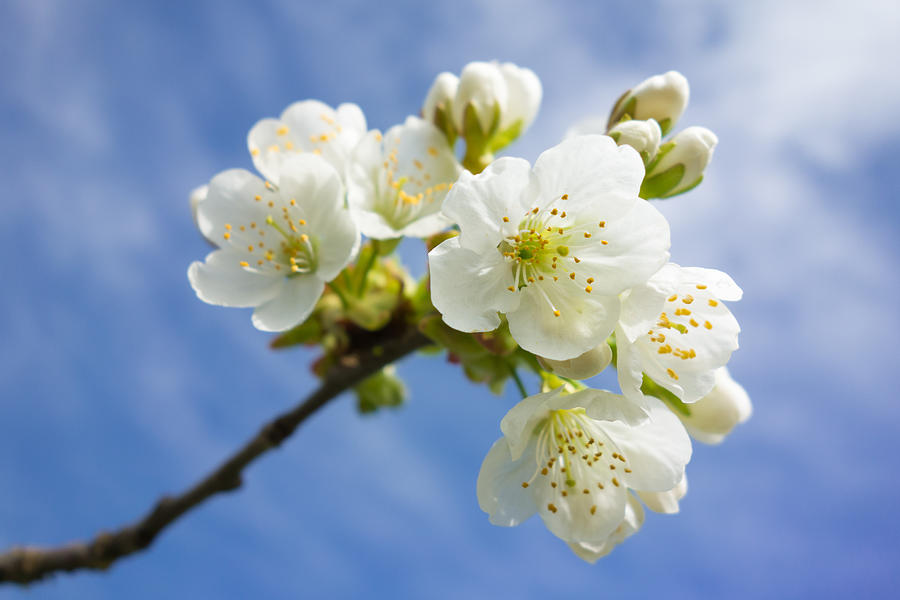 Lovely White Apple Blossoms On Branch Photograph