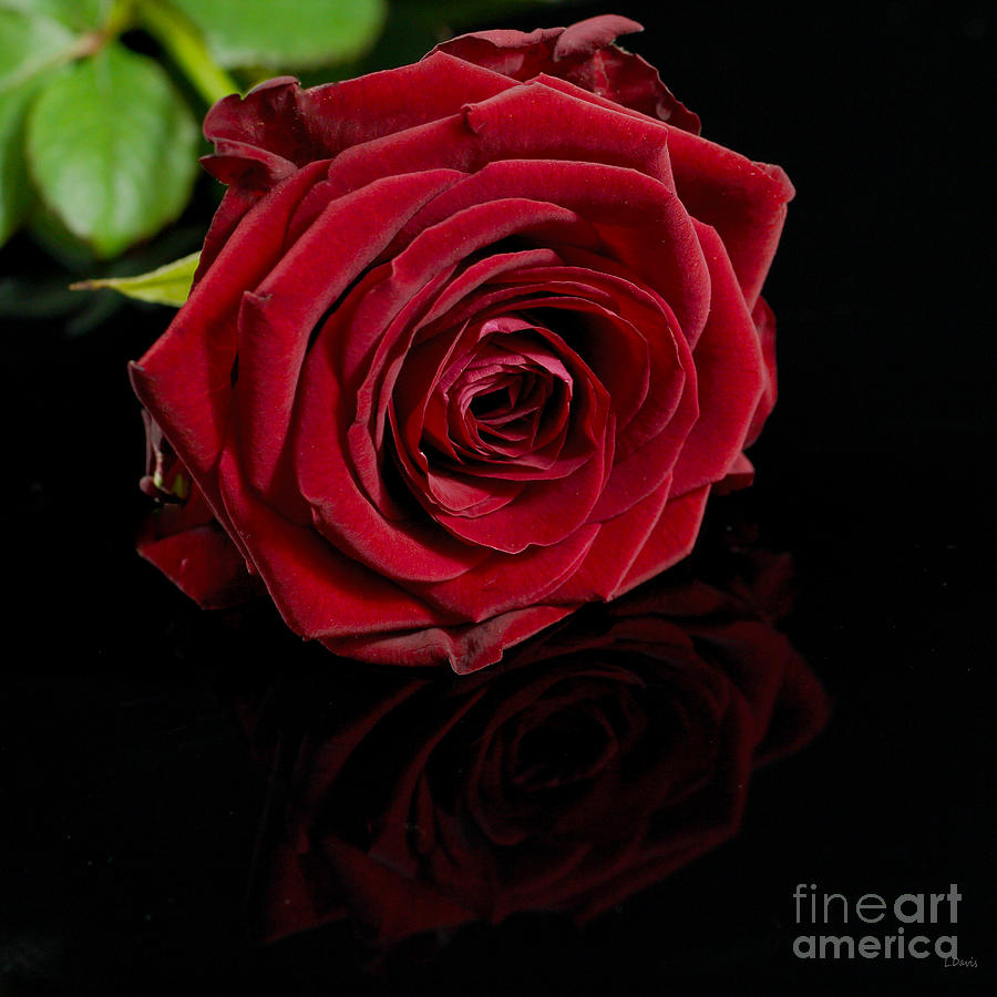 Rose Photograph - Lovers Gift by Wobblymol Davis