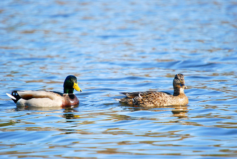 Male And Female Ducks Photograph
