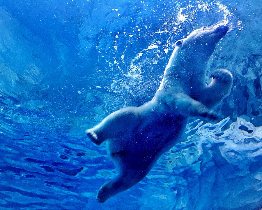 Underwater Photograph - Low Angle View Of Polar Bear Swimming by Yumeng Lin / Eyeem