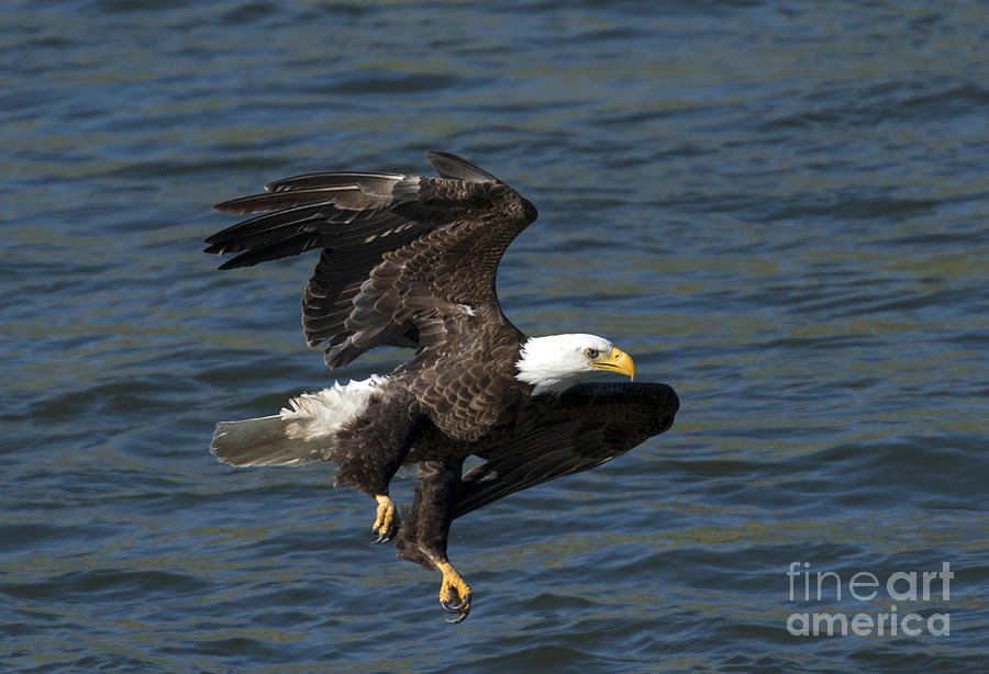 Eagle Photograph - Low Over The Water by Mike  Dawson