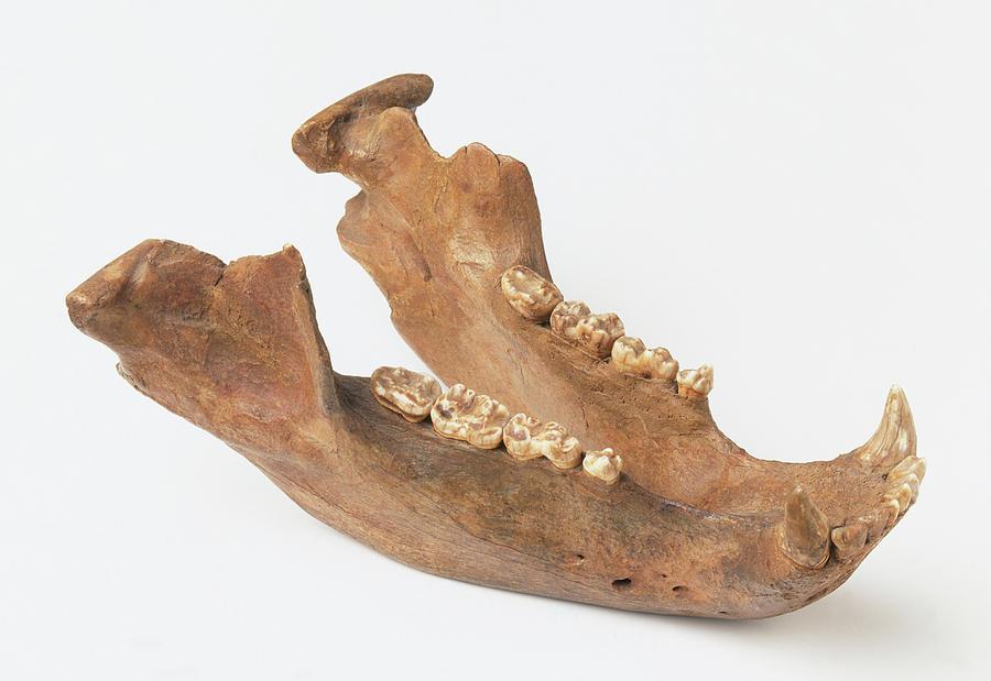 Lower Jaw Bone Of Ursus Spelaeus Photograph By Dorling Kindersleyuig