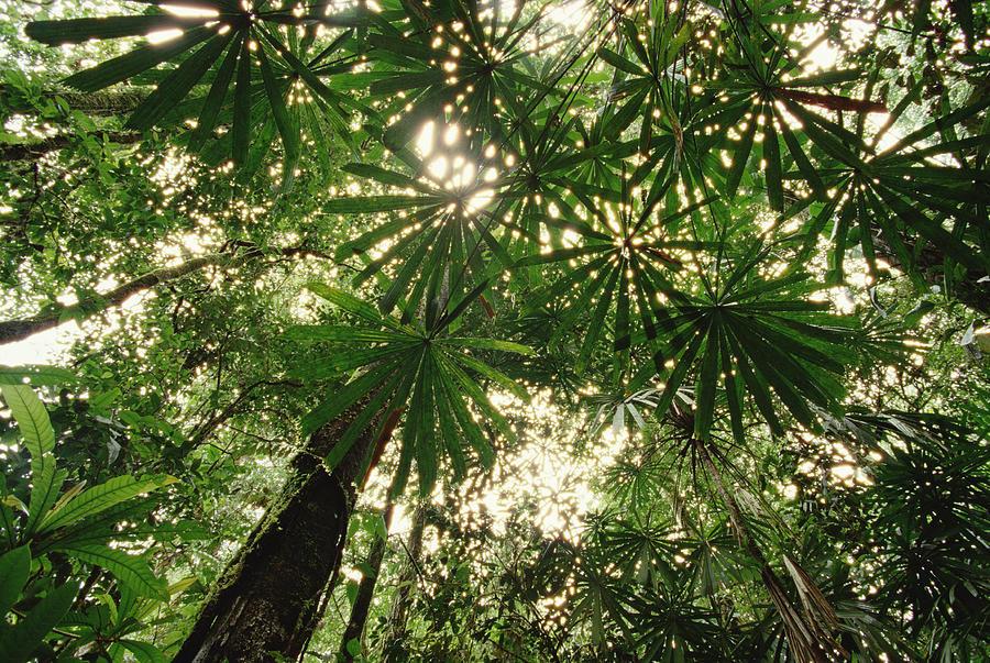 Lowland Tropical Rainforest Fan Palms Photograph by Gerry Ellis