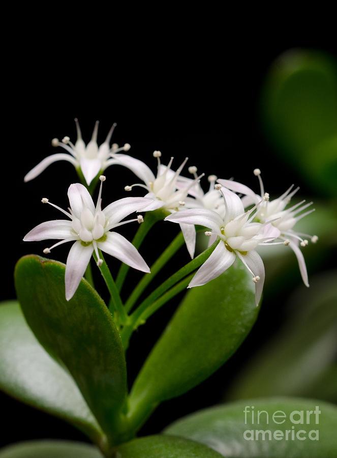 Lucky Bouquet Pt Jade Plant Friendship Tree Money Plant Photograph