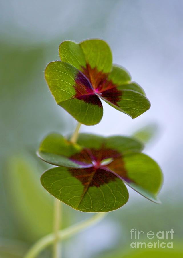 Oxalis Photograph - Lucky Lovers by Maria Ismanah Schulze-Vorberg
