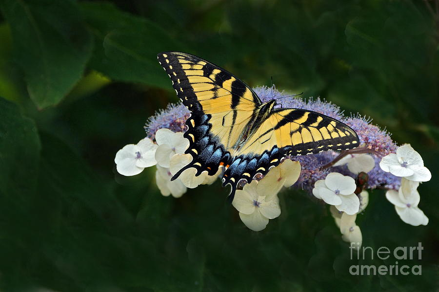 Papilio Glaucus Photograph - Luminous Butterfly On Lacecap Hydrangea by Byron Varvarigos