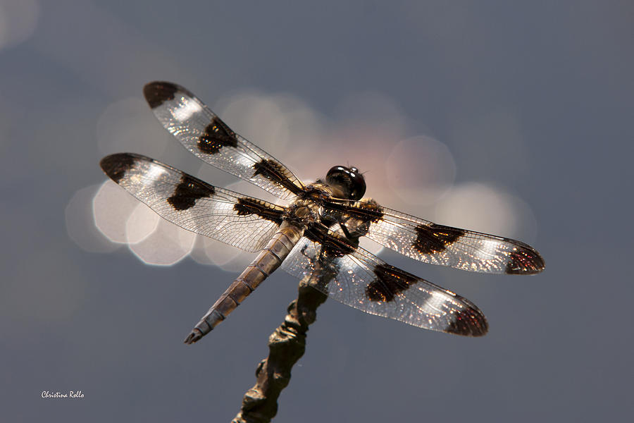 Dragonfly Photograph - Luminous Dragonfly by Christina Rollo