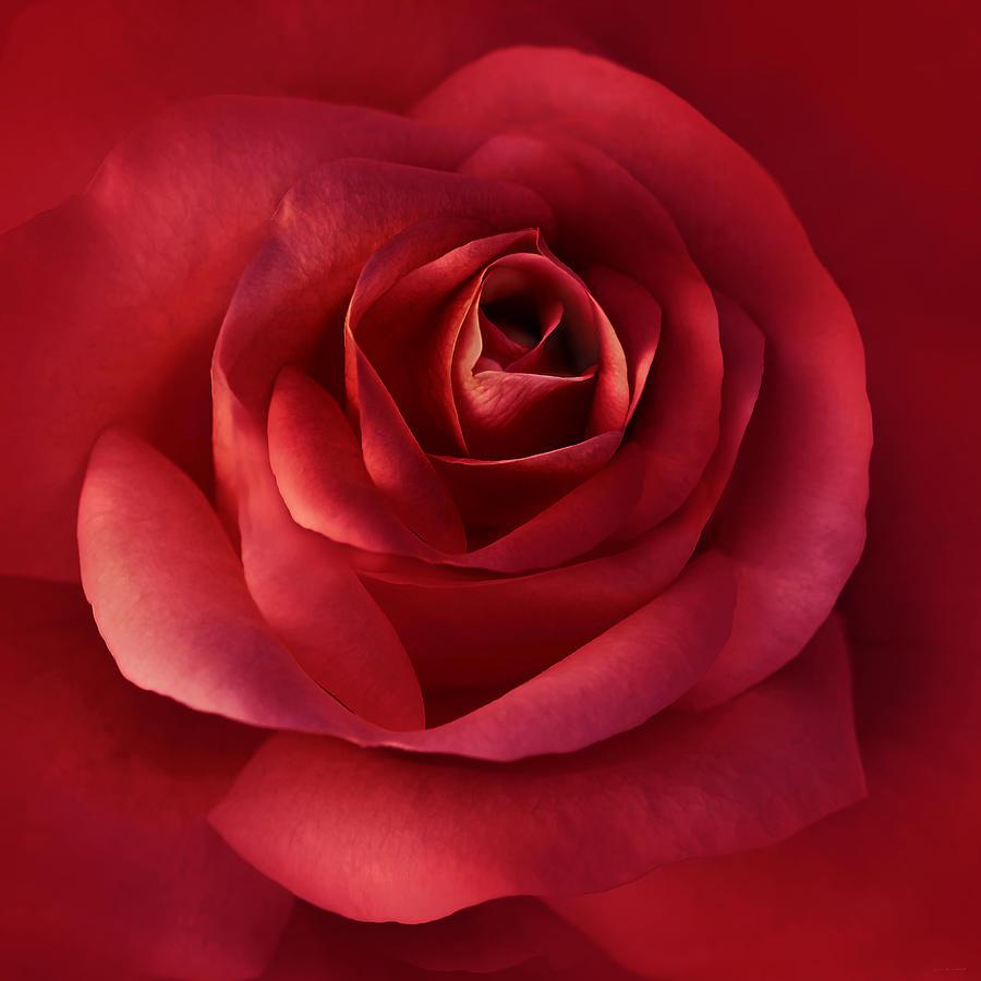 Luminous Scarlet Rose Flower Photograph