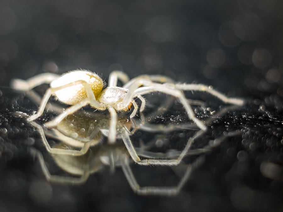 Spider Photograph - Luminous Spider by Carl Engman