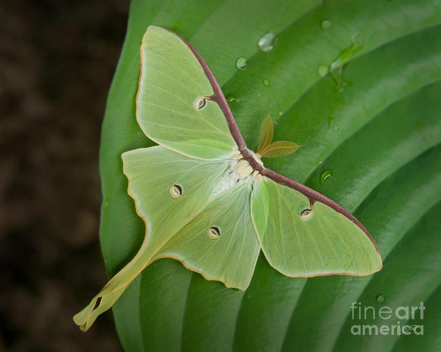 Moth Photograph - Luna Moth by Alana Ranney