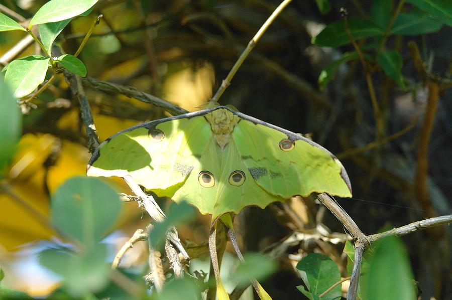 Moths Photograph - Luna Moth In The Sun by Jeff Swan