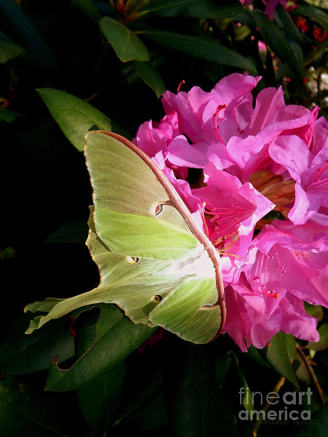 Moth Photograph - Luna Moth by Janine Riley