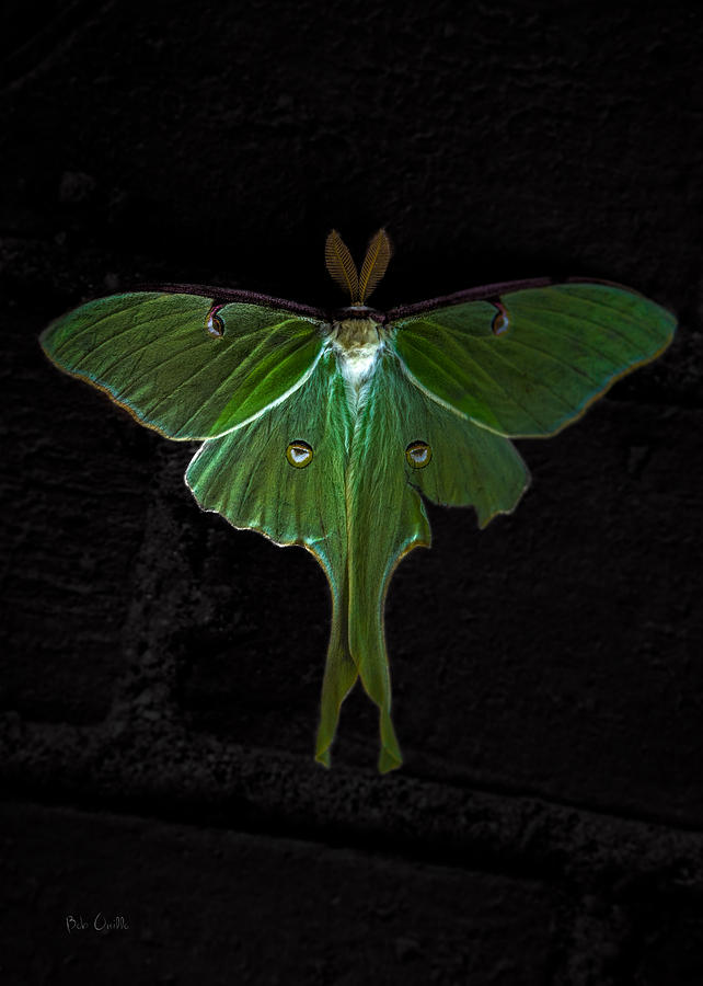 Moth Photograph - Lunar Moth by Bob Orsillo