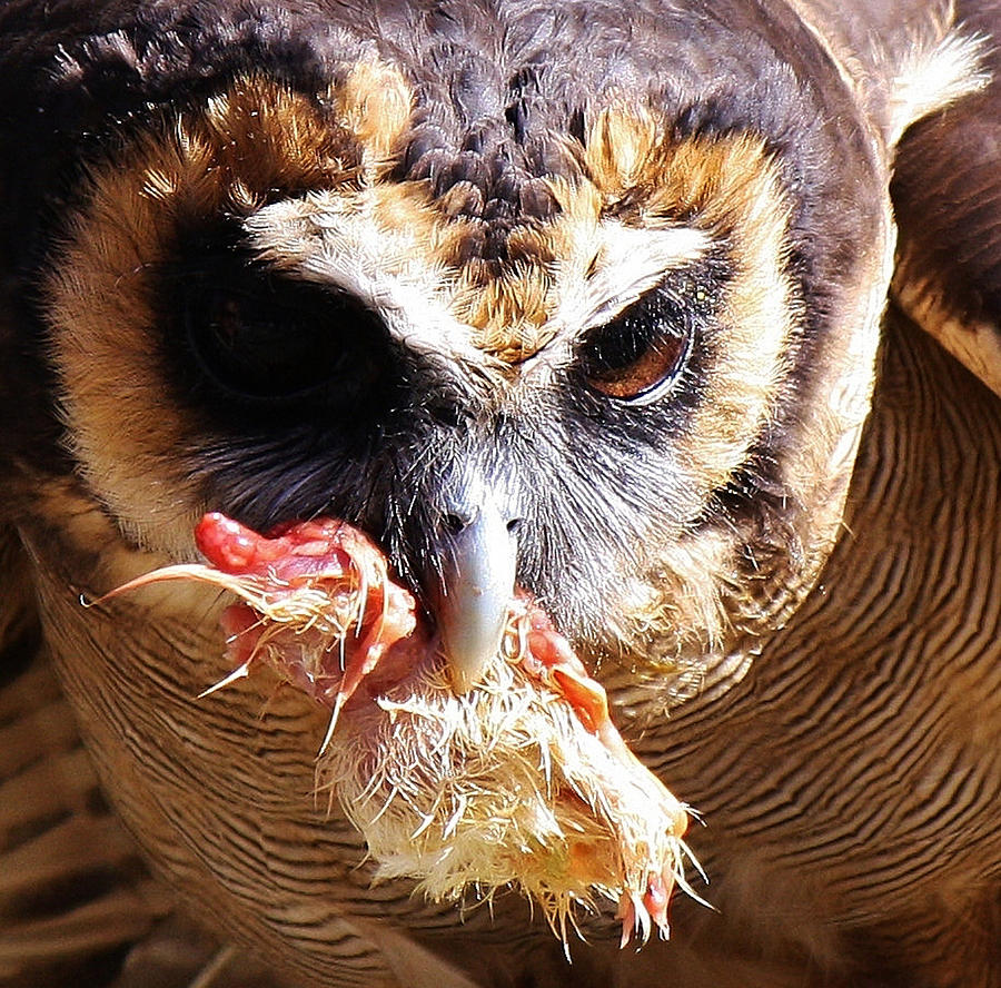 Owl Photograph - Lunch by Paulette Thomas