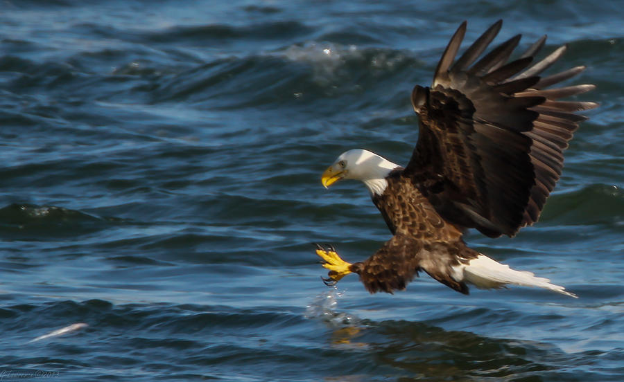 American Bald Eagles Photograph - Lunch Time  by Glenn Lawrence