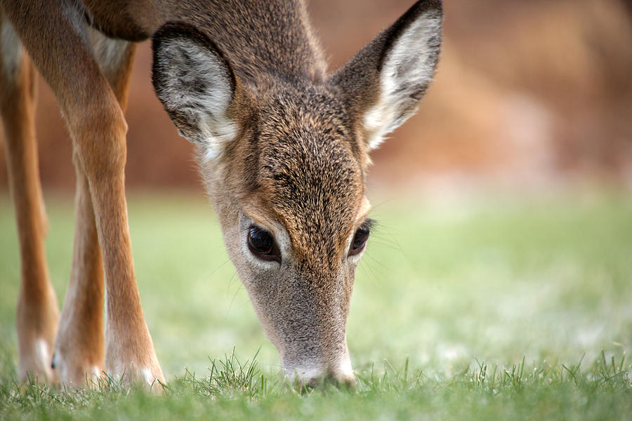 Deer Photograph - Lunch Time by Karol Livote
