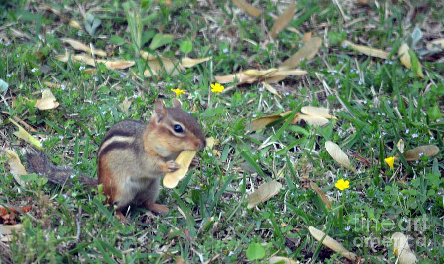 Chipmunk Photograph - Lunch Time Photo A by Barb Dalton