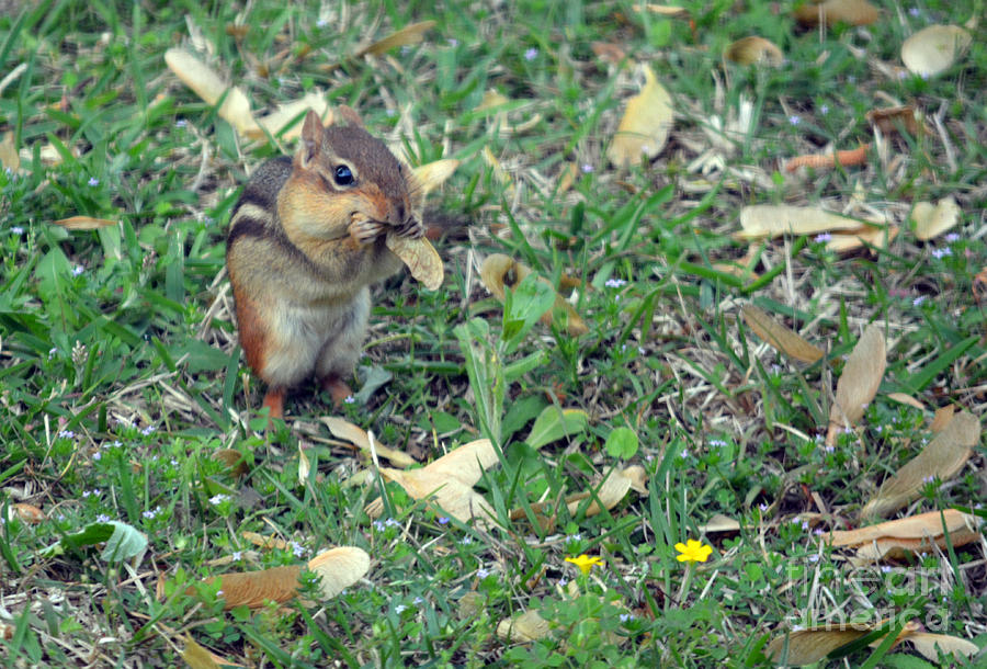 Chipmunk Photograph - Lunch Time Photo B by Barb Dalton