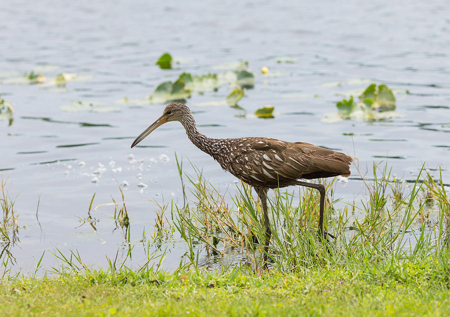 America Photograph - Lunching Lurching Limpkin by John M Bailey