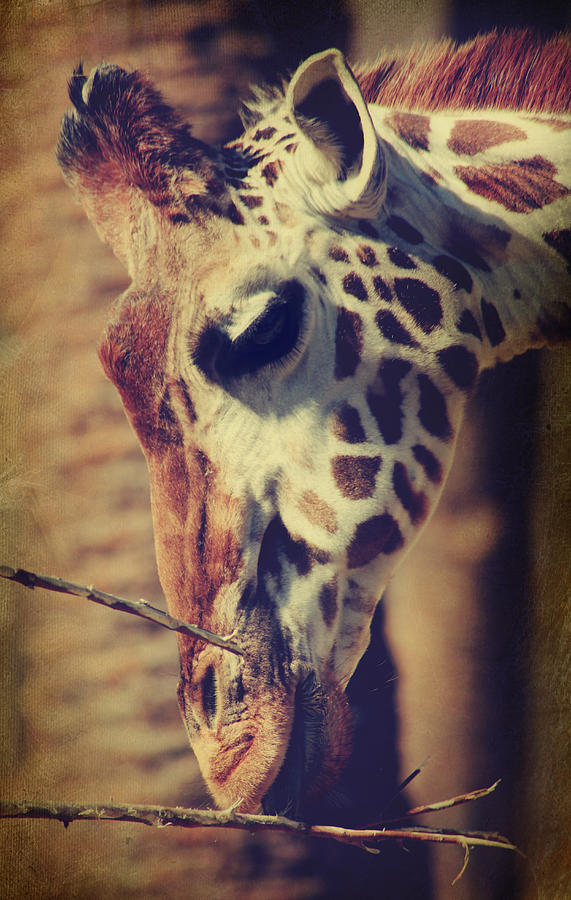 Giraffes Photograph - Lunchtime Twigs by Laurie Search