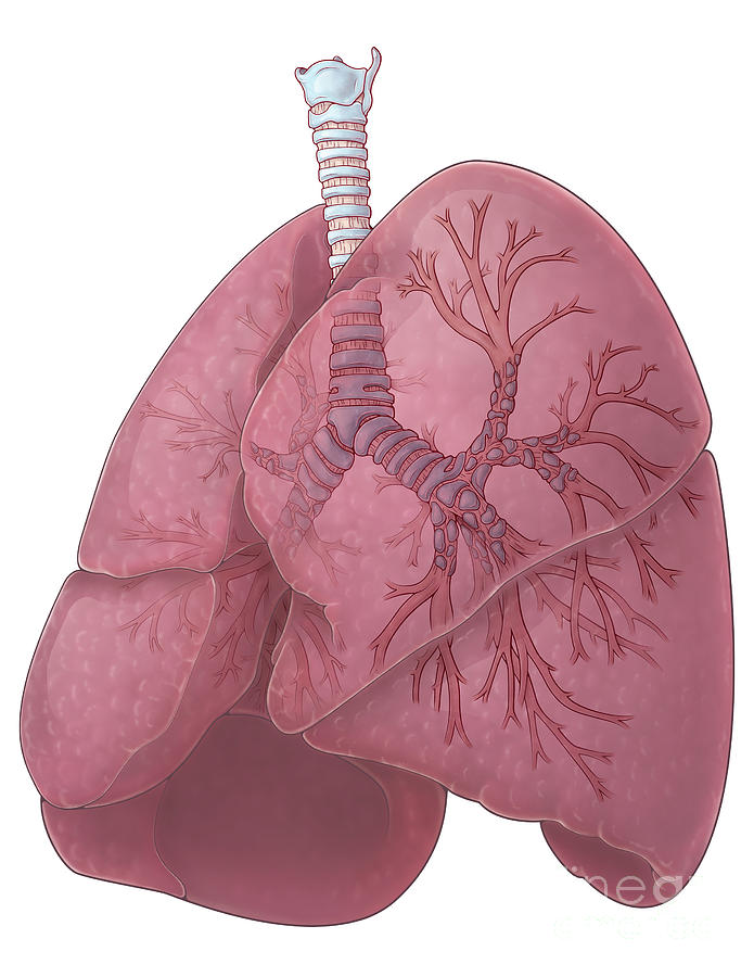 Illustration Photograph - Lungs And Bronchi by Evan Oto
