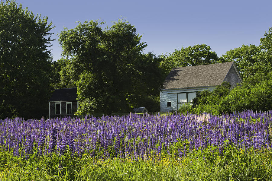 Lupine flowers near round pond maine photograph by keith for Pond companies near me