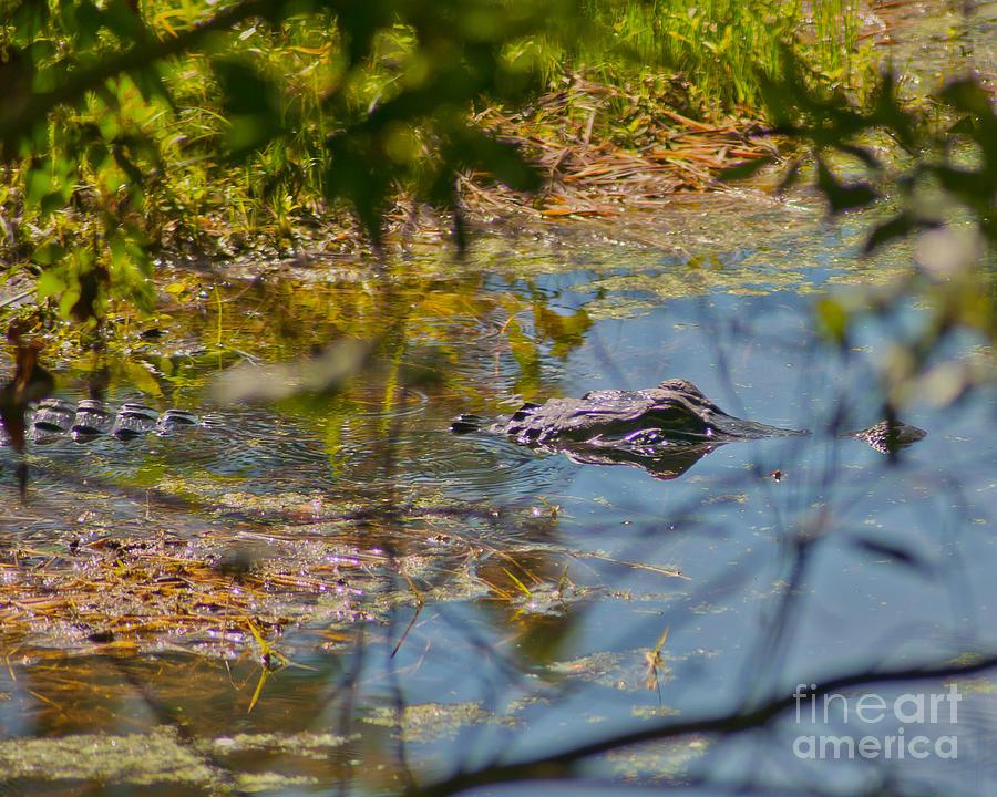 Alligator Photograph - Lurking Gator by Stephen Whalen