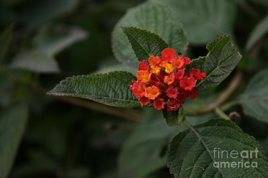 Color Photographs Photograph - Luscious Citrus Blend Lantana by Crissy Boss