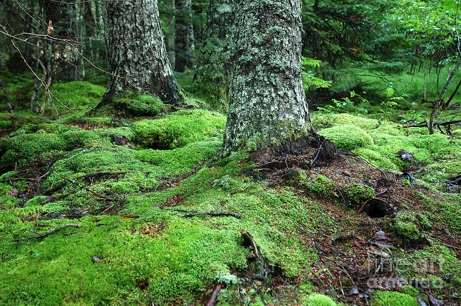 Maine Photograph - Lush Forest by Alan Russo