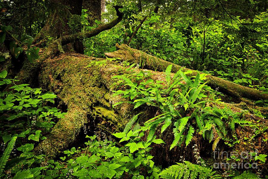 Rainforest Photograph - Lush Temperate Rainforest by Elena Elisseeva