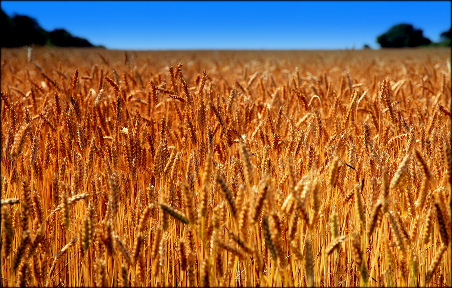 Wheat Photograph - Lying In The Rye by Karen Wiles