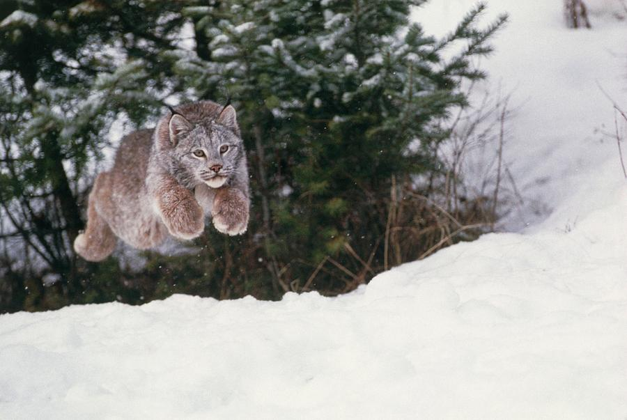 Lynx Photograph - Lynx Leaping by William Ervin/science Photo Library