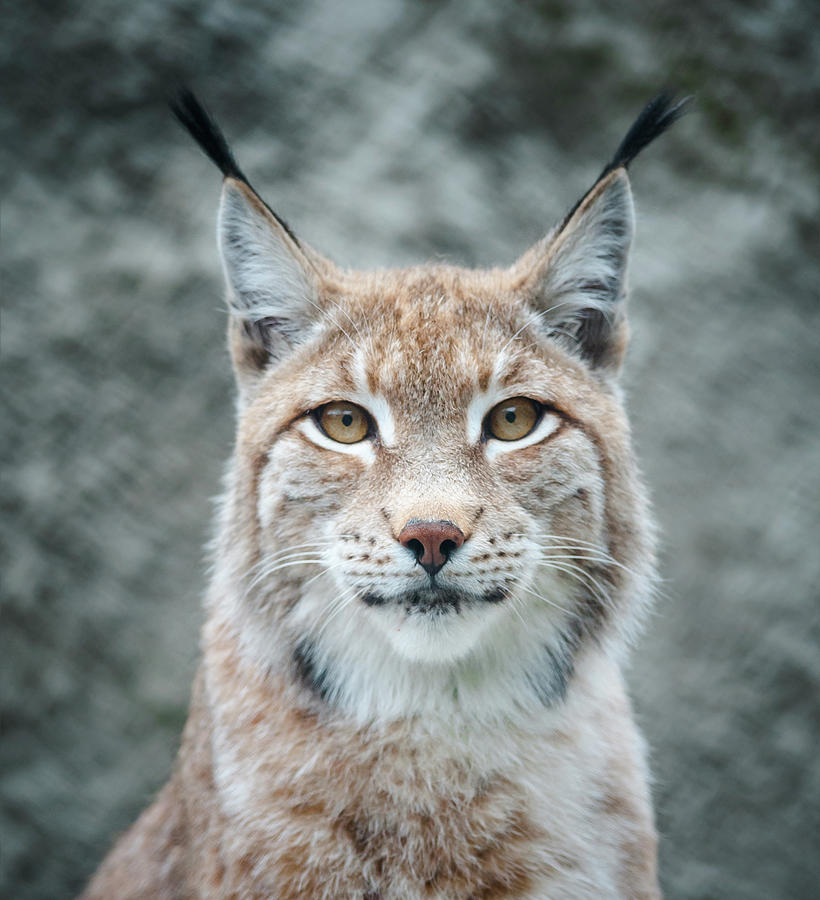Lynx Portrait Photograph by Photographs By Maria Itina