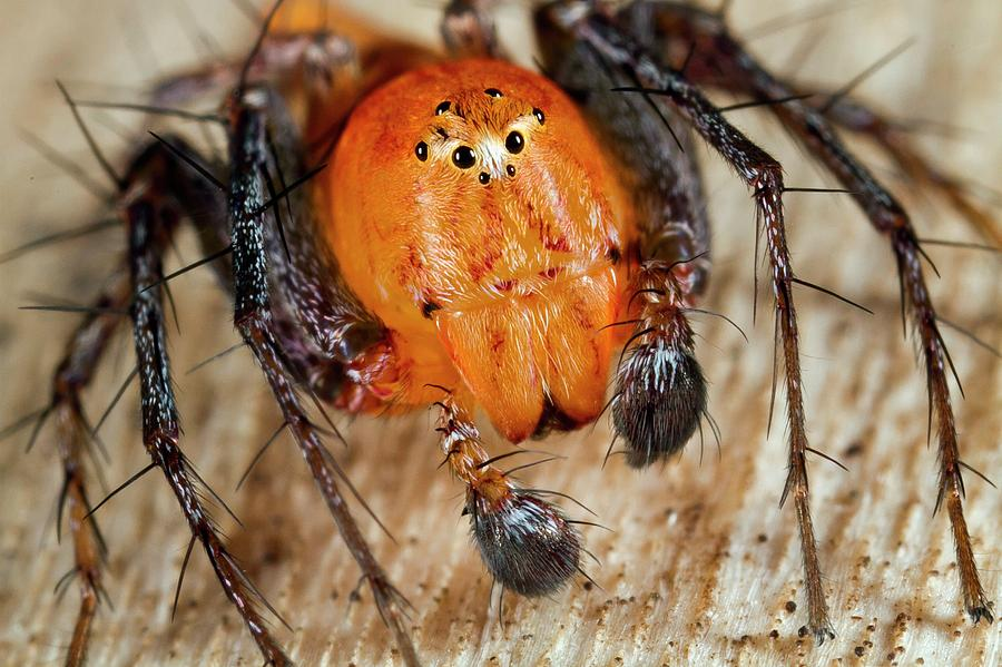 Animal Photograph - Lynx Spider by Nicolas Reusens