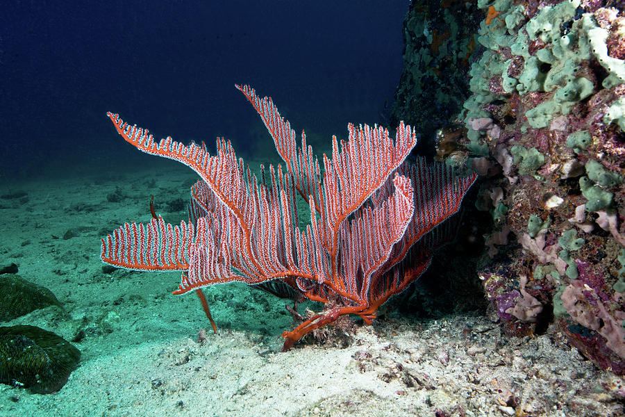 Lyre Gorgonian, Harp Coral Photograph by Gerard Soury