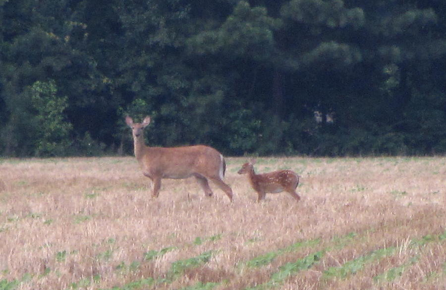 Fawn Photograph - Mable The Female Deer With Harriet The Baby Fawn by Debbie Nester