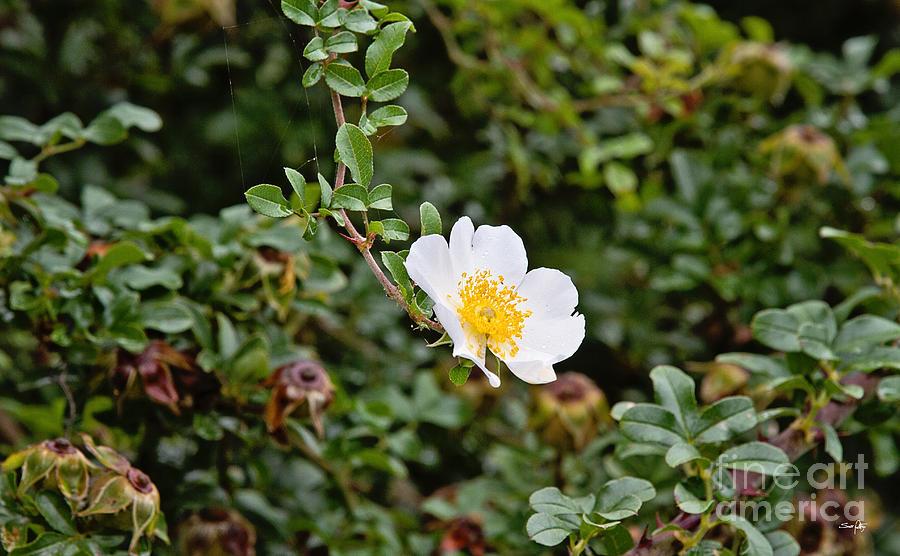 Flower Photograph - Macartney Rose by Scott Pellegrin