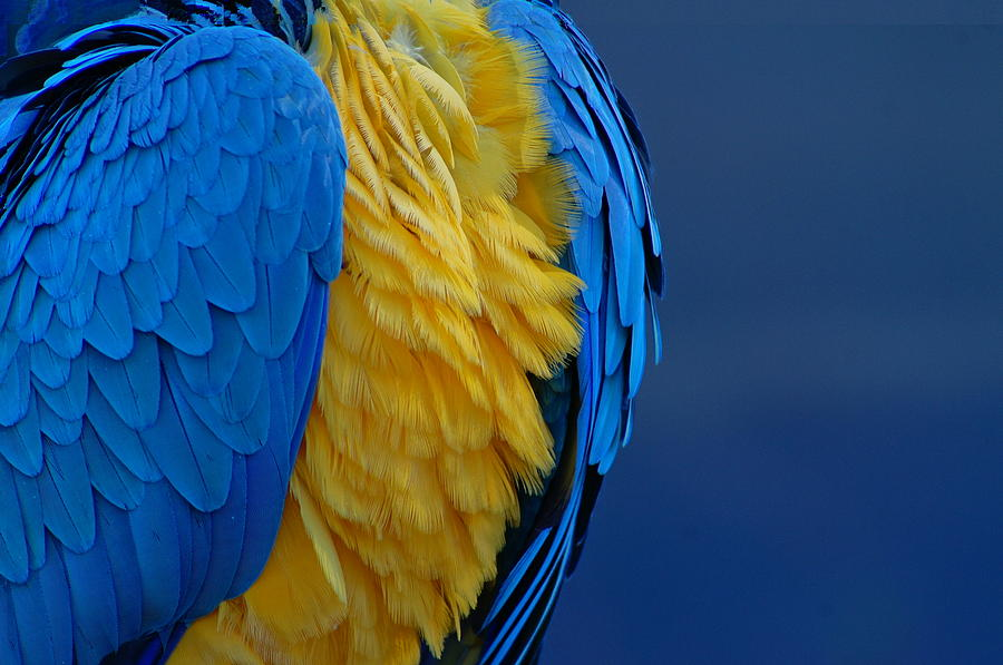 Macaw Photograph - Macaw Blue Yellow Blue by Colleen Renshaw